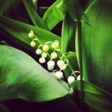 цветет долина лилии Стоковые Фото