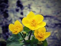 цветет одичалый желтый цвет стоковая фотография