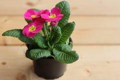 Цветет первоцвет, vulgarisin primula бак на деревянной предпосылке Они имеют высокое разнообразие цветов и могут быть используемы Стоковые Фотографии RF