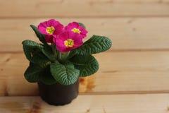 Цветет первоцвет, vulgarisin primula бак на деревянной предпосылке Они имеют высокое разнообразие цветов и могут быть Стоковое фото RF