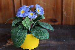Цветет первоцвет, vulgarisin primula бак на деревянной предпосылке Они имеют высокое разнообразие цветов и могут быть Стоковое Изображение