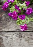 цветет петунья Стоковые Изображения RF