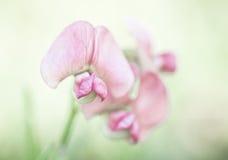 цветет пинк гороха Стоковая Фотография