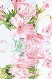 цветет пинк лилии Стоковые Фотографии RF