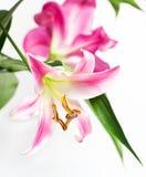 цветет пинк лилии Стоковые Изображения
