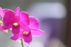 цветет пинк орхидеи Стоковое фото RF
