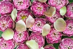 цветет пинк лотоса Стоковая Фотография