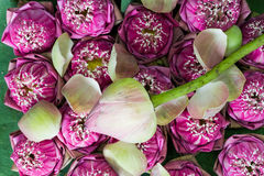 цветет пинк лотоса Стоковые Фото