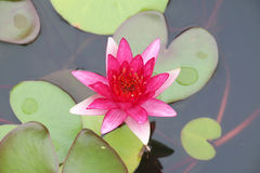 цветет пинк лотоса Стоковое Фото