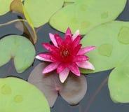 цветет пинк лотоса Стоковая Фотография RF