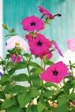 цветет пинк петуньи Стоковое фото RF