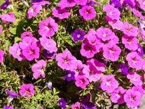 цветет пинк петуньи Стоковые Фотографии RF