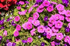 цветет пинк петуньи Стоковые Изображения RF