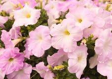 цветет пинк петуньи Стоковое Изображение RF