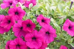 цветет пинк петуньи Стоковые Изображения