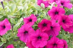 цветет пинк петуньи Стоковая Фотография RF