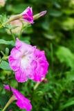 цветет пинк петуньи Стоковое Фото