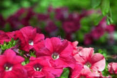 цветет пинк петуньи Стоковая Фотография
