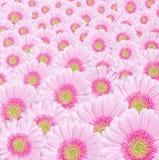 цветет пинк gerbera Стоковая Фотография