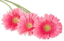 цветет пинк gerbera Стоковое Изображение