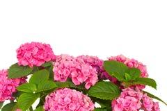 цветет пинк hortensia Стоковое Фото