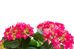 цветет пинк hortensia Стоковая Фотография