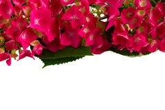 цветет пинк hortensia Стоковые Изображения