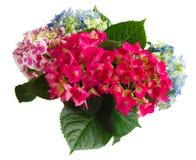 цветет пинк hortensia Стоковые Изображения RF