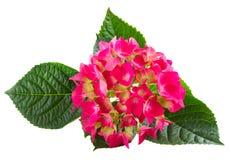 цветет пинк hortensia Стоковая Фотография RF