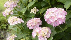 цветет пинк hydrangea видеоматериал
