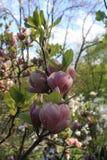 цветет пинк magnolia Стоковое Изображение