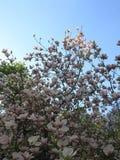 цветет пинк magnolia Стоковые Изображения