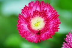 цветет пинк marguerite стоковые изображения rf