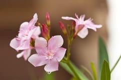 цветет пинк oleander nerium Стоковое Изображение RF