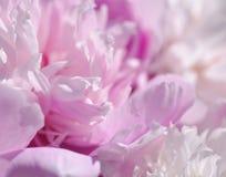 цветет пинк peony пинк предпосылки нежный Стоковая Фотография RF