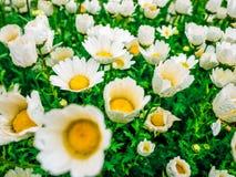 Цветет поле верхней части camomiles вниз красивое зеленой травы по мере того как предпосылка в падениях росы природы красочных мо стоковое фото