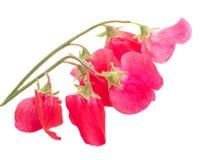 цветет помадка гороха Стоковые Изображения