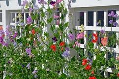 цветет помадка гороха Стоковое Фото