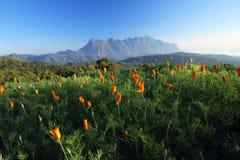 цветет помеец горы Стоковое фото RF