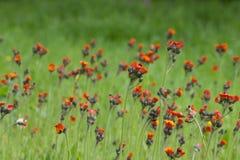 цветет помеец лужка Стоковое Изображение