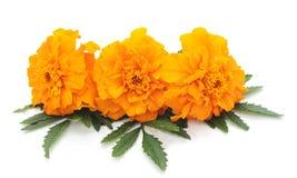 цветет помеец 3 Стоковое Фото