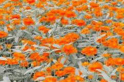 цветет помеец Стоковые Фото
