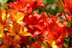 цветет помеец Стоковая Фотография RF