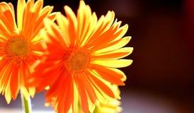 цветет помеец стоковые изображения