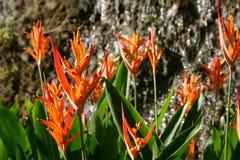 цветет померанцовое тропическое Стоковое фото RF