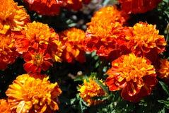 цветет померанцовый желтый цвет Стоковое фото RF