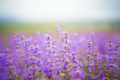 Цветет поля лаванды стоковое фото rf