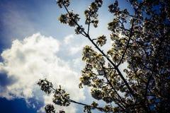 Цветет природа предпосылки весны дерева цветков абрикоса Стоковые Фото