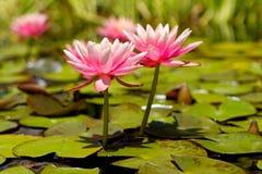 цветет пруд 2 пинка лотоса лилии Стоковые Изображения RF