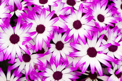 цветет пурпуровая белизна Стоковая Фотография